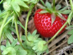 GREAT info on growing strawberries from Oregon State University!