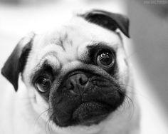 Portrait of a pug