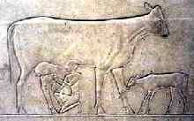 Milking a cow, the calf is tethered to the cows front leg. The Egyptians kept cattle, goats and sheep. Their milk was kept in egg-shaped earthen jars, plugged with grass as protection against insect and was drunk shortly after milking. It is often assumed that - because of the hot climate in which milk spoils in a few hours - milk not destined for immediate consumption was processed into something similar to quark or yoghurt-like labaneh. Milk was considered a delicacy by many.