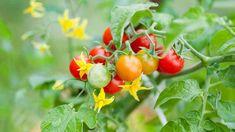 Rajčata jsou nejen užitečnou, ale i pohlednou rostlinou Potted Tomato Plants, Cherry Tomato Plant, Small Tomatoes, Cherry Tomatoes, Blooming Plants, Banner Printing, Allium, Plant Needs, Types Of Plants