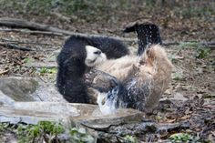 Giant Panda Photos • A baby panda gets playful at bath time at the...