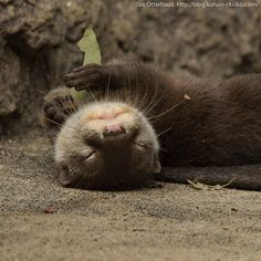 Funny pictures about It must be in an otter place. Oh, and cool pics about It must be in an otter place. Also, It must be in an otter place. Animals And Pets, Baby Animals, Funny Animals, Cute Animals, Otters Funny, Wild Animals, Otters Cute, Baby Giraffes, Otter Meme