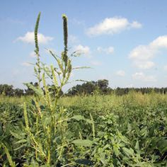 Palmer amaranth has taken root as a herbicide-resistant 'superweed' in many US cotton fields.