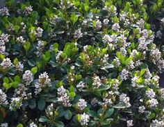 Image result for Rhaphiolepis Oriental Pearl Hedging Plants, Landscaping Plants, Smith Gardens, Landscape Concept, Hedges, Garden Planning, Garden Design, Oriental, Backyard