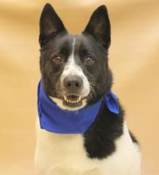 OREO is an adoptable Border Collie Dog in Lancaster, OH. HELLO  MY NAME IS OREO  MY FAMILY WAS UNABLE TO KEEP ME  THIS IS WHAT MY OWNER TOLD THE DOG SHELTER   I AM 5 YEARS OLD  GOOD WITH KIDS DOGS AND...