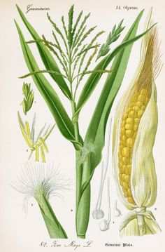 Corn Botanical Illustration from Flora of Germany circa 1903