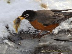 Journey North American Robin Migration Update: Spring 2015