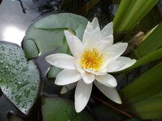 Нимфея в моем пруду Plants