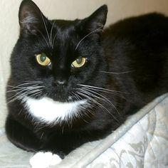 Tuxedo Cat Image : 7 Gorgeous Tuxedo Cat Pictures   Biological ...
