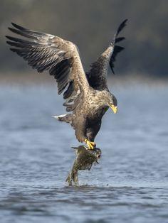 Zeearend IJsselmonding vangt vis - Vogels (ijsvogel, koolmees, vink) - Zeearend gjyzerman