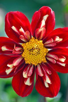 ✯ Beautiful Red Dahlia