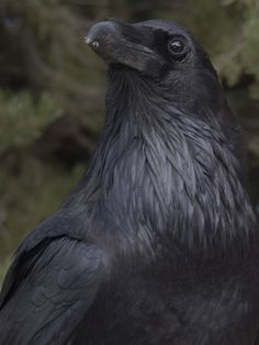 Raven, Grand Canyon National Park by ggallice, via Flickr