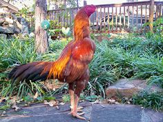 KING GHAZI: Brazilian Asil Chicken Roost, Pigeon Pictures, Chicken Breeds, Picture Description, Cat Breeds, Dog Cat, Dogs, Roosters, Quail