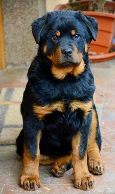 I think Rottweiler is German for 'What a Face'!