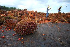 PepsiCo Slammed for Palm Oil Deforestation Despite Updated Commitment
