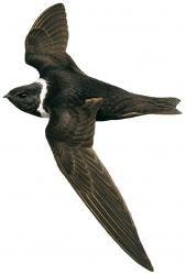 White-collared Swift (Streptoprocne zonaris)