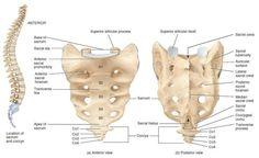Sacrum bone anterior and posterior view