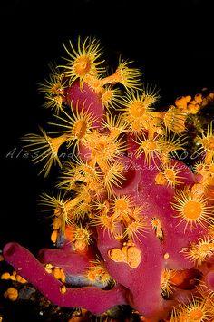 Parazoanthus axinellae by AlessandroSpiga, via Flickr