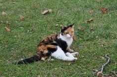 calico cat | Calico Cat, Carriage Hill Farm Ohio (Pose II)