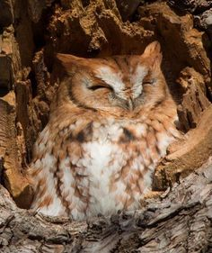 ✤ Petit-duc Maculé au plumage roux ✤ Photographié par Jesse R Gordon   _____________________________________________________   ✤ Red Morph Eastern Screech owl soaking up the first rays of the day ✤ It's sunbathing weather if you're a screech owl. Photographied by Jesse R Gordon