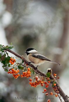 Black capped chickadee, Parus atricapillus, on branch by bittersweet, winter, Midwest USA
