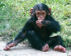 An adorable lil' Chimp! (all he needs is a blankie)