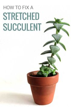 Succulent Care Discover How to Fix Stretched Out Succulent Plants Is your succulent looking different? Is it growing tall and thin and all stretched out? Why do succulents stretch? Learn why it happens and how to fix it. Tall Succulents, Propagate Succulents From Leaves, Types Of Succulents, Growing Succulents, Succulents In Containers, Container Plants, Container Flowers, Container Gardening, Indoor Succulents