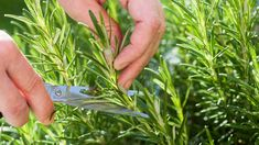 Sniffing Rosemary Can Increase Memory By – Healthy Home Remedies Natural Cures, Natural Health, Herbal Remedies, Home Remedies, Increase Memory, Olive Garden, Comment Planter, Mosquito Repelling Plants, Salud Natural