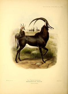 Zoologie / planche naturaliste / Biologie historique.Hippotragus equinus