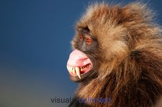 Gelada sub-mature male showing aggression by lip flipping display (Theropithecus gelada),