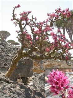 Socotra has a high diversity of Boswellia (Burseraceae) species; trees that produce frankincense or olibanum, an incense which has been traded for some 5000 years for use in religious ceremonies and medicine. Out of a total 24 species, 7 are endemic to the Socotra Archipelago. Some species grow only on rocks and cliff faces, others only from the ground. The tallest species are Boswellia elongata, many of which are found at Homhil, and Boswellia ameero, which is common at the higher altitudes…