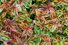 Abelia is a broadleaf evergreen that grows well in USDA hardiness zones 6 to The glossy green foliage contrasts nicely with the pinkish-white flowers in summer and fall. Bonsai Garden, Foliage Plants, Blossom Flower, Garden Beds, Shrubs, White Flowers, Perennials, Landscape Design, Landscape Designs