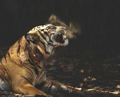 A Sumatran tiger sneezes and growls sending a soft mist of air from its mouth (pictured). These enchanting moments create the illusion of a detailed oil painting assisted by Mr Xanthopoulous' ability to manipulate an image during the post-production process