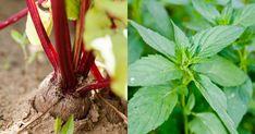 Plantele-companion: tabelul vecinătății legumelor în paturi! - Pentru Ea Salvia, Hens, Organic, Stuffed Peppers, Vegetables, Plant, Life, Sage, Stuffed Pepper