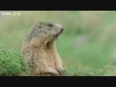 "The ""Alan Alan Alan"" Marmot on the BBC!  When I give my name as Ellen at a ""take orders here"", I always hear Allen when they call my order.  Never realized it was because they hired marmots."
