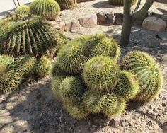 Barrel Cacti/Desert Botanical Garden/Phoenix, Arizona/Photo: Jill Thompson