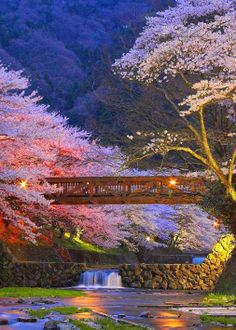bridge railing and japanese cherry blossoms