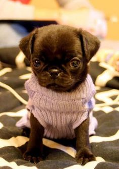 Tiny pug in a tiny sweater ♥ Clean pug! Pug Love dog doggie puppy boy girl black fawn funny fat outfit costume
