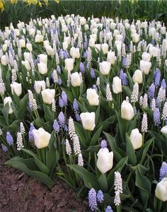 The perfect early spring combo. Plant your bulbs now in fall for blooms like this next year!