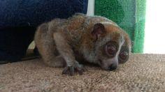 オハナ2015 Slow Loris, Fox, Animals, Animal Pictures, Animales, Animaux, Animais, Lemur, Foxes