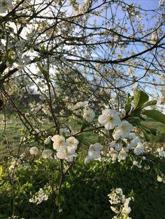 Kirschblüten...spring is in the air!
