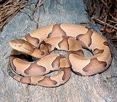 Copperhead... beautiful species of snake