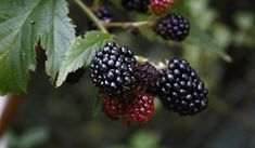 A gift of 6 blackberry plants in was the beginning of growing blackberries for profit into a blackberry farm with more than plants. Blackberry Plants, Blackberry Bramble, Blackberry Wine, All Plants, Live Plants, Growing Blackberries, Benefits Of Organic Food, Health Benefits, Health Tips