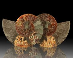 Ammonite Fossil - Madagascar