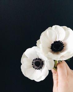 gardens minimal black and white anemones. anemone flower, minimalist, minimalism black and white anemones. Anenome Flower, Anemone Bouquet, White Anemone Flower, Ranunculus, Poppy Flowers, Anemone Wedding, Wedding Bouquets, Wedding Flowers, Grand Art