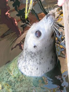 Harbour Seal off the Coast of Victoria, BC, Canada getting snacks from friendly people… lol