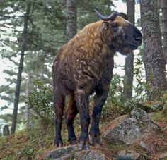 The preserve houses the Takin, a unique, endangered species found only in Bhutan, Nepal, China and Burma. Bhutan has chosen it as the national animal due to its significance in the country's religi… Interesting Animals, Unusual Animals, Rare Animals, Animals And Pets, Strange Animals, Bhutan, Beautiful Creatures, Animals Beautiful, National Animal