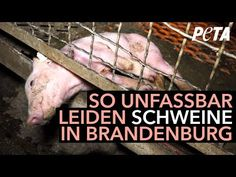 The suffering of the pigs in Günthersdorf – no actions, despite criminal complaints! Free Background Check, Dog Died, Leiden, Factory Farming, Vegan Quotes, Why Vegan, Post Animal, Peta, Stop Animal Cruelty