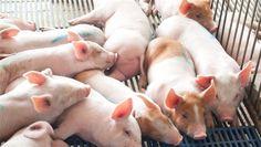 A hosszú szervátültetési várólistán több módszerrel is igyekeznek segíteni: újabban állatokban növesztenek őssejtekből előállított emberi szerveket.