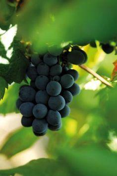 Vindruvor i väntan på att bli ett av många välkända KWV-viner